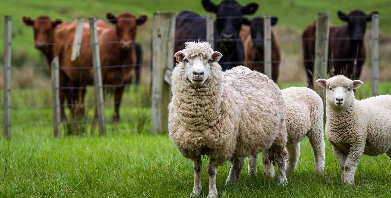 Livestock in New Zealand