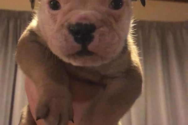 3month old British bulldog puppy