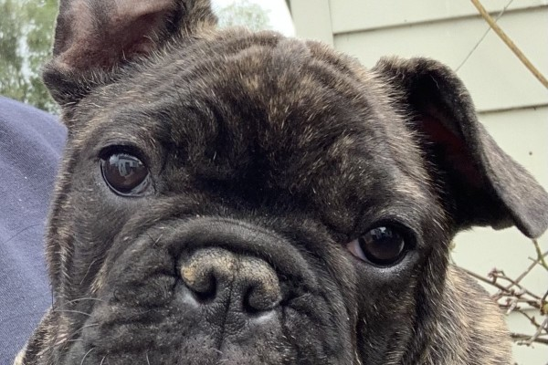 5 month old French Bulldog