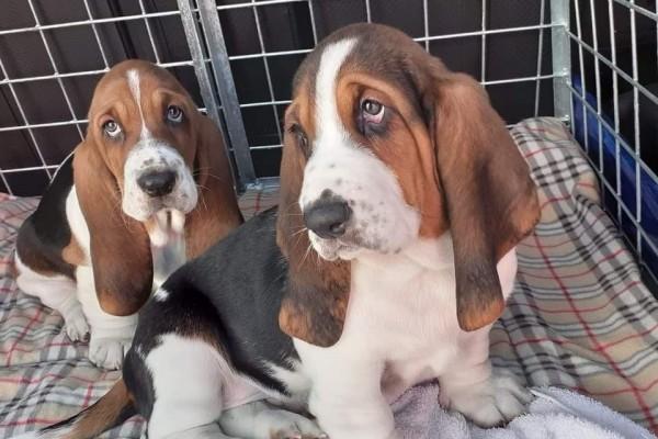 2 x 8 week old basset puppies