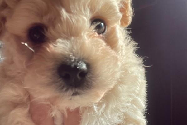 3 month old bichon x maltese puppy