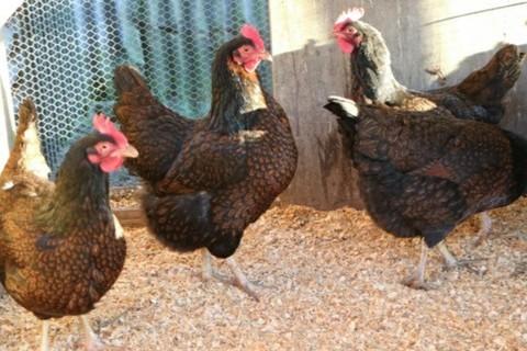 4 Hens