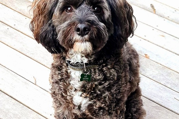 3 year old cavoodle