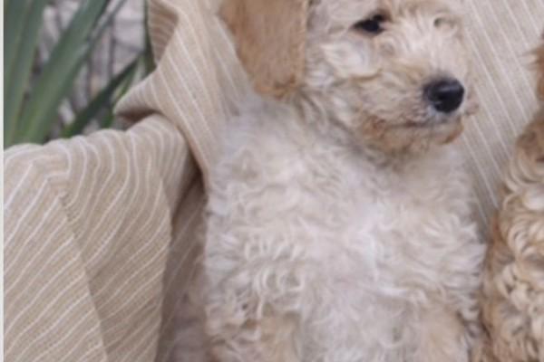 3 months labradoodle puppy