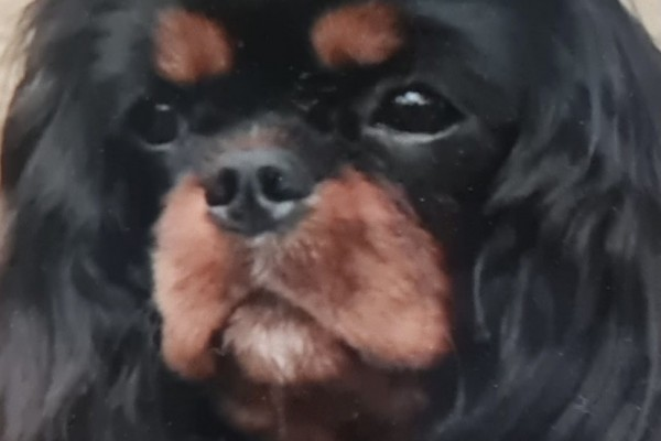 3 year old Cavallier King Charles Spaniel