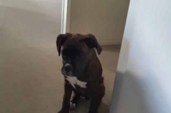 18 week Boxer puppy