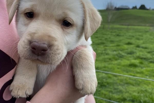 9 week old Labrador