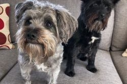 2 x mini schnauzer dogs.  Poppy is 8 and Snoopy is 5, both girl dogs.