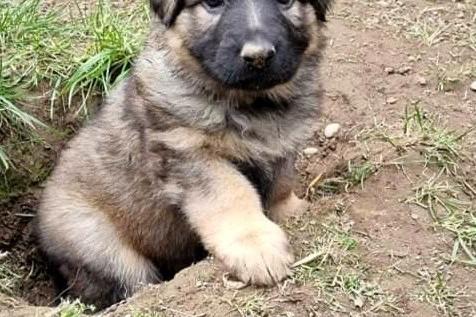 8wks old German shepherd