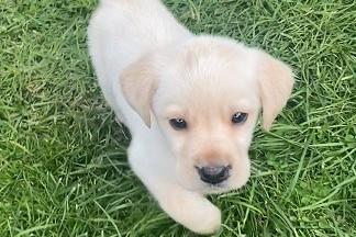 2 month old labrador