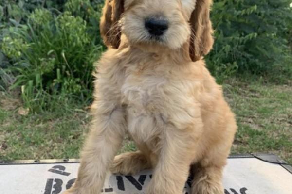 2 months old Irish Doodle puppy
