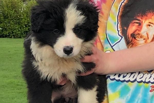 8 week old border collie puppy